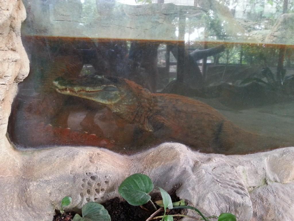 Crocodile in the farm in the city
