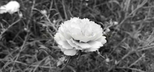 Wild flower in black and white